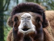 The head of a funny camel in portrait.  Royalty Free Stock Photo