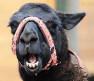 Head of funny lama Royalty Free Stock Image