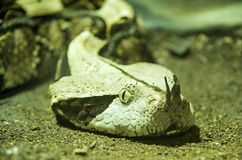 Head of Gaboon viper Royalty Free Stock Images