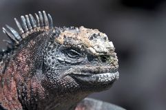 Head of a Galapagos iguana Royalty Free Stock Images