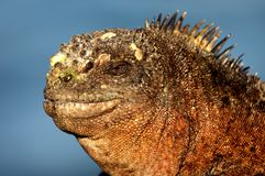 Head of a Galapagos marine iguana Stock Image