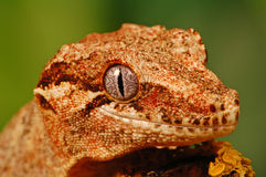 Head of gargoyle gecko Stock Photo