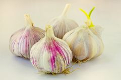 Head of garlic stock photography
