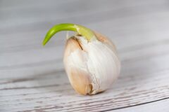 Head of garlic on a neutral background