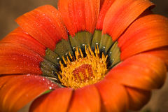 Head of Gazania - bright orange flower Stock Photos