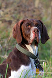 Head of German pointer Royalty Free Stock Photos
