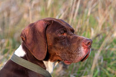 Head of German pointer Stock Photo
