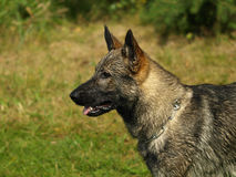 Head of german shepherd. Royalty Free Stock Photography