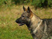 Head of german shepherd. Royalty Free Stock Photography
