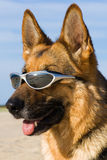 Head of the German shepherd Stock Photography