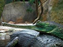Head of gharial. Long head of gharial crocodile Stock Photos