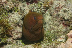 Head of giant moray eel Gymnothorax javanicus Royalty Free Stock Images