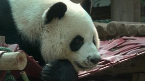 The head of a giant Panda closeup. Chiang Mai, Thailand. The head of a giant Panda closeup. Zoo Chiang Mai, Thailand stock video