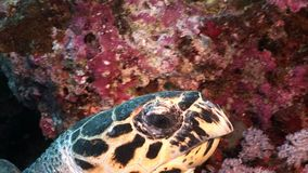 Head Giant reptile Hawksbill sea turtle Eretmochelys imbricata in Red sea. Relax underwater video about marine Cheloniidae stock footage