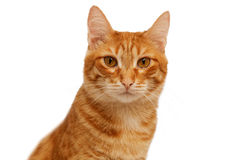 Head of ginger cat isolated on white Royalty Free Stock Photography