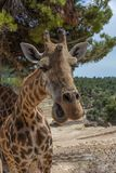 Head of Giraffa camelopardalis rothschildi with mouth open against green foliage. Front on view. Stock Image