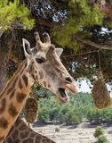 Head of Giraffa camelopardalis rothschildi with mouth open against green foliage Royalty Free Stock Photo
