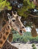 Head of Giraffa camelopardalis rothschildi with mouth open against green foliage. Safari Aitana, Penaguila, Spain Royalty Free Stock Photo