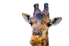Head giraffa isolated. In black background stock image