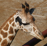 Head of giraffe Stock Image