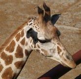 Head of giraffe Stock Image