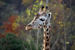 Head of giraffe Royalty Free Stock Photos