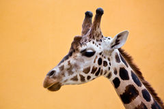 Head of giraffe Stock Photo