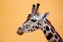 Head of giraffe Stock Photo
