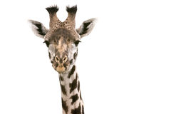 Giraffe. Head of a giraffe isolated on white background Stock Photography