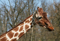 The head of the giraffe Royalty Free Stock Photos