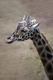 Head Of A Giraffe Stock Photo