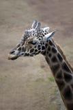 Head Of A Giraffe Stock Photo