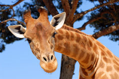 Head of giraffe. Closeup of the head of giraffe with tree in background Royalty Free Stock Image