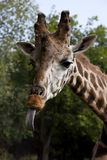 The head of a giraffe. Who oar flicked out tongue language Stock Image