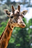 Head of giraffe. Almost from the front Stock Images