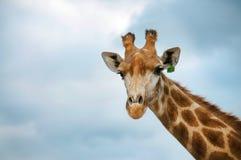 The head of Giraffe Royalty Free Stock Photography