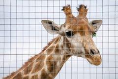 The head of Giraffe Stock Image