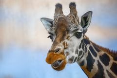 Head of a giraffe against a blue background. royalty free stock image