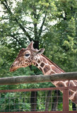 Head of a giraffe in cage Stock Photos
