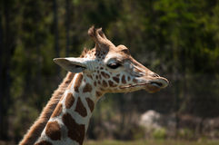 Head of giraffe chewing on a stick Royalty Free Stock Photography