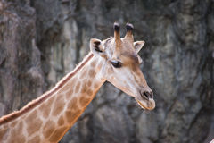 Head of giraffe. Close up head of giraffe Stock Photos