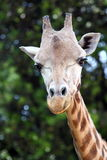 Head of giraffe (Giraffa camelopardalis). Closeup view of a giraffe (Giraffa camelopardalis Royalty Free Stock Photo