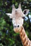 Head of giraffe (Giraffa camelopardalis). Closeup view of a giraffe (Giraffa camelopardalis royalty free stock photo