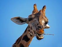 Head of giraffe (Giraffa camelopardalis) in a zoo. Spain Royalty Free Stock Photo