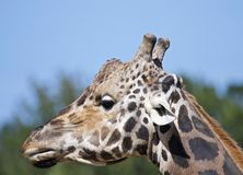 Head of adult giraffe royalty free stock photos