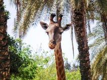 Head of a giraffe in jungle Stock Photography