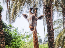 Head of a giraffe in  jungle Royalty Free Stock Image