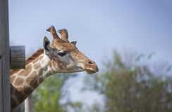 Head of Giraffe near a wooden fence.  Stock Images
