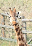 Head of giraffe Royalty Free Stock Images