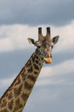 Head of giraffe over blue sky Stock Photo